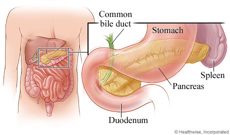 Pancreas and its location in the body