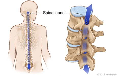 Skeletal view of spine, showing detail of spaces through all vertebrae that make up spinal canal