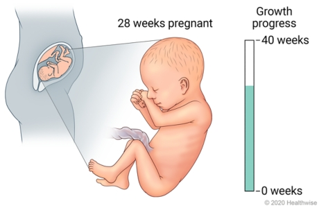 Fetus in uterus, with detail of development at 28 weeks pregnant