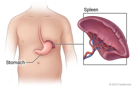 Location of spleen near stomach, with detail of spleen