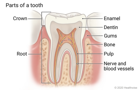 Cross-section of tooth showing its parts: crown, enamel, dentin, root, pulp, and nerve and blood vessels, and the gums and bone around it