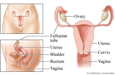 Picture of the female reproductive system