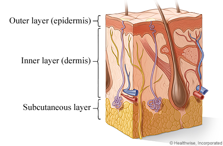 Cross section of the skin