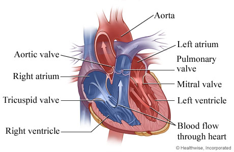 Picture of heart anatomy (chambers and valves)