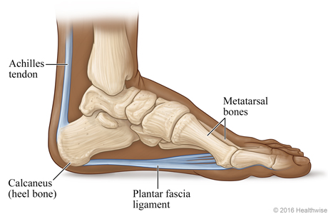 Skeletal view of the foot, showing the plantar fascia