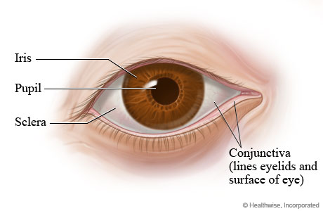 Parts of the eye (outer view)