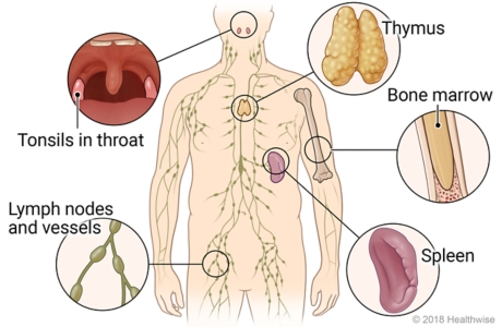 Location in body of parts of immune system, with detail of tonsils, thymus, bone marrow, spleen, and lymph nodes and vessels