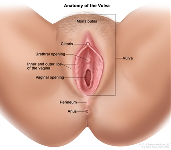 Anatomy of the vulva; drawing shows the mons pubis, clitoris, urethral opening, inner and outer lips of the vagina, and the vaginal opening. Also shown are the perineum and anus.